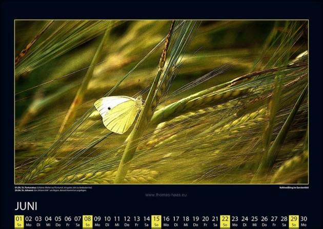 Leichtigkeit des Sommers, Kohlweißling  im Getreidefeld