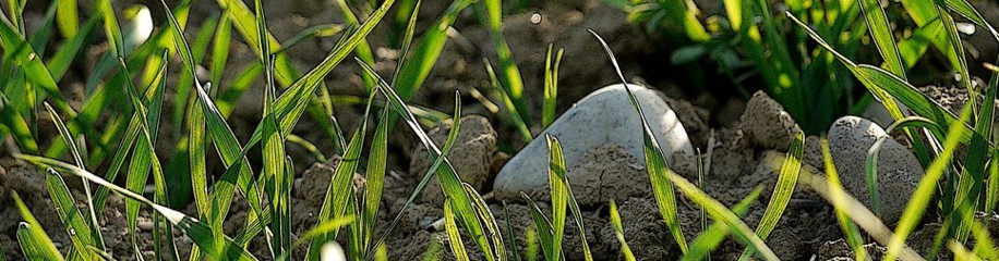 Steine zwischen spriessendem Getreide
