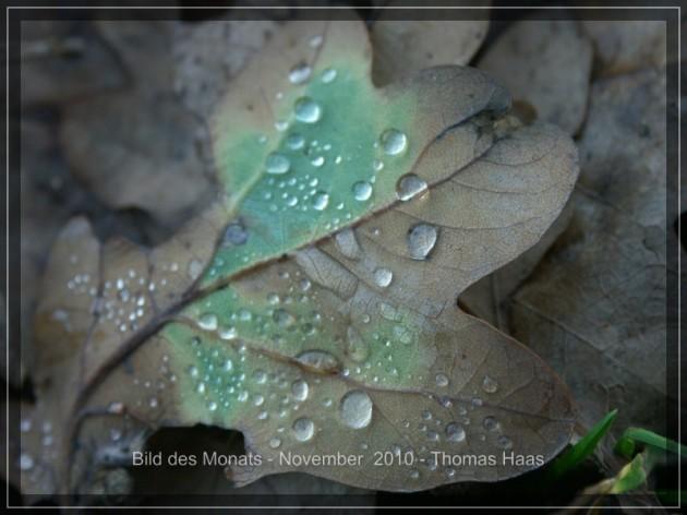Wassetrpfen auf buntem Eichenblatt