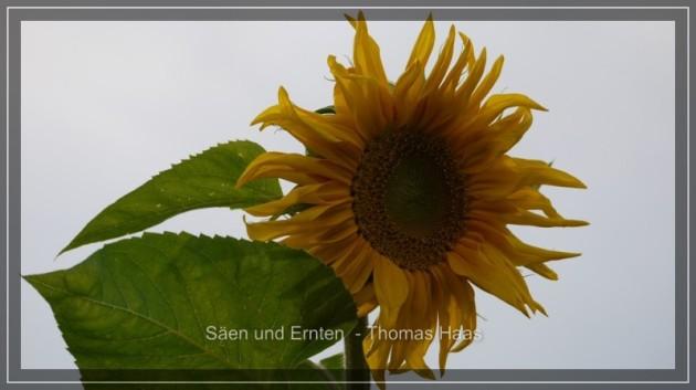 Sonnenblume, freigestellt