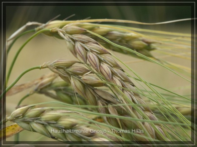 ...erntereifes Getreide.