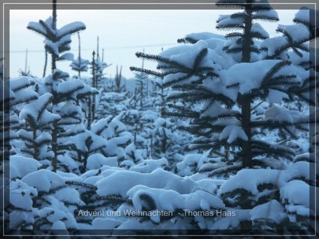 Verschneite Weihnachtsbäume auf einer Plantage