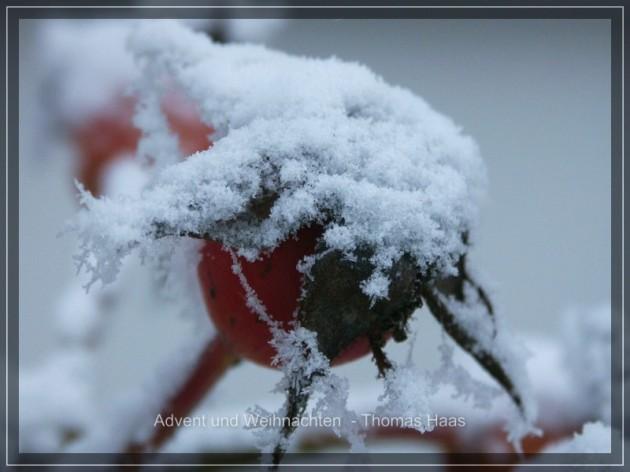 Makroaufnahme: Hagebutten im Schnee