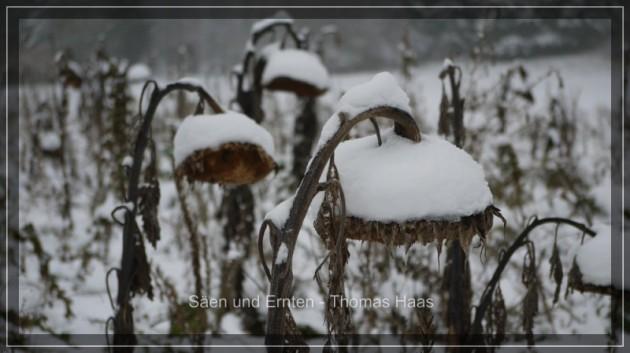 Verschneite Sonnenblumen