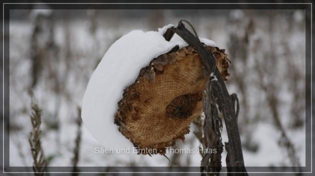 Große Sonnenblume mit Schneehaube