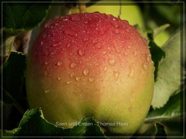 "Apfel mit Tautropfen, ""Altes Land"""