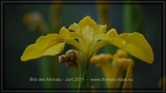Lilienblüte, gelb