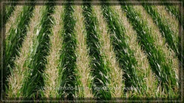 Maisfeld aus erhöhter Perspektive