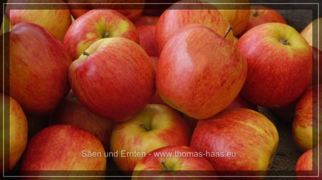 Rotbackige Äpfel im Korb.