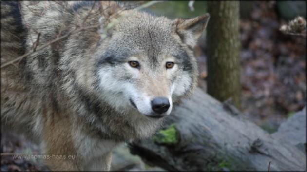 Ein Wolf im Freilichtmuseum Skansen, Stockholm
