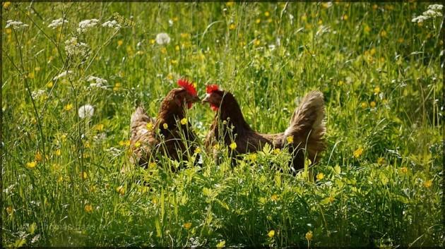 Freilandhühner auf Bauernhof