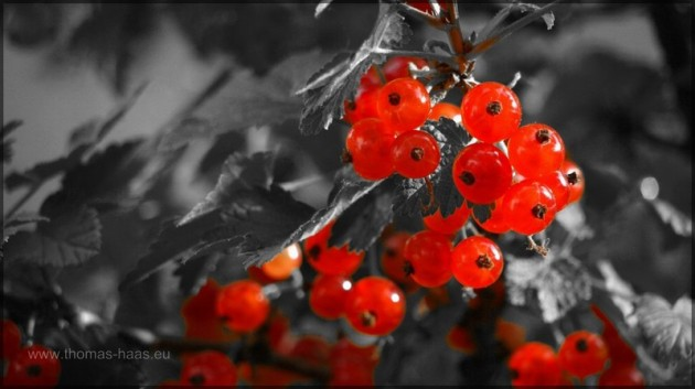 Colorkey-Effekt an Johannisbeeren