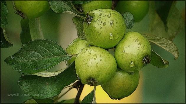 Mostäpfel