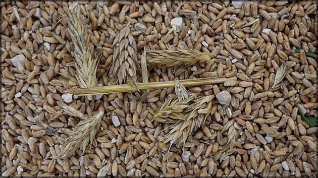 Weizenkörner mit Verunreinigung