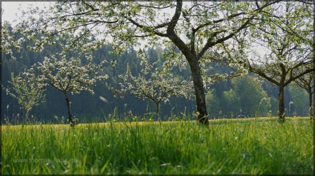 Frühling auf der Streuobstwiese