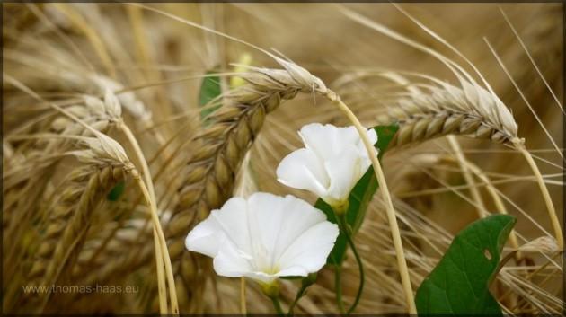 Reifes Feld wartet auf die Ernte...