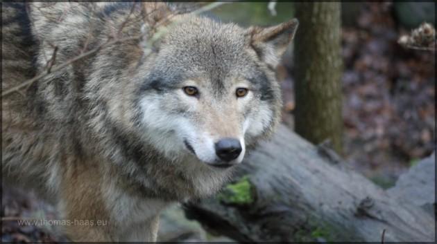 Wolf in Skansen, Stockholm, Schweden
