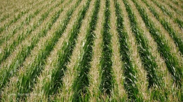 Maisfeld in erhöhter Perspektive