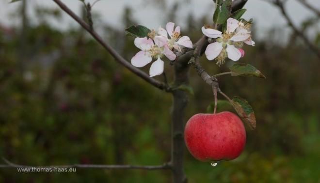 Apfelbaum mit Apfel und Bluete im September 2012