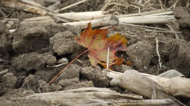 Maisfeld nach der Ernte, September 2012
