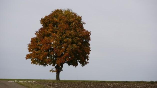 Ahornbaum im Oktober 2012