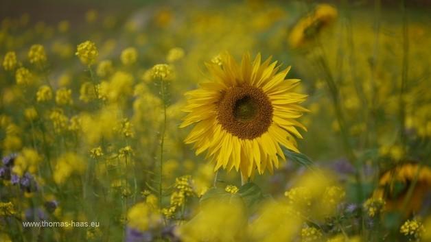Sonnenblumen und Raps im Oktober 2012