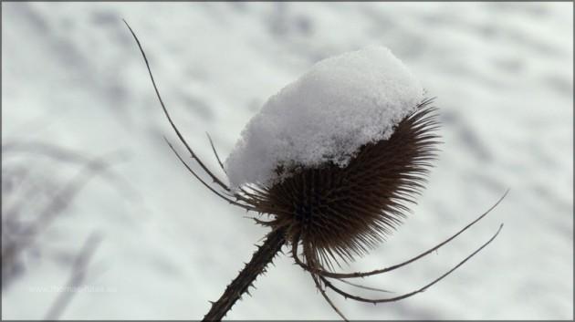 Distel mit Schneehaube - im Dezember fotografiert...