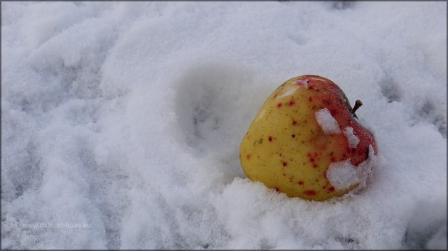 Apfel im Schnee, Dezember 2012