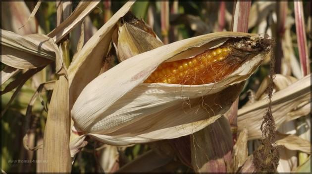 Ein Maiskolben wartet auf die Ernte
