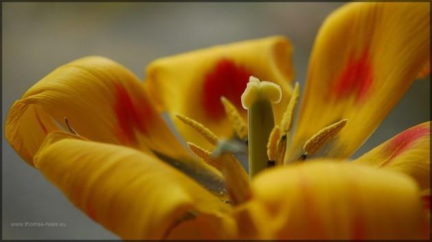 verbluehende Tulpe, Topfpflanze im Maerz 2013