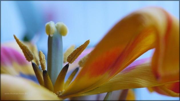 Verbluehende Tulpe, Topfpflanze, Maerz 2013