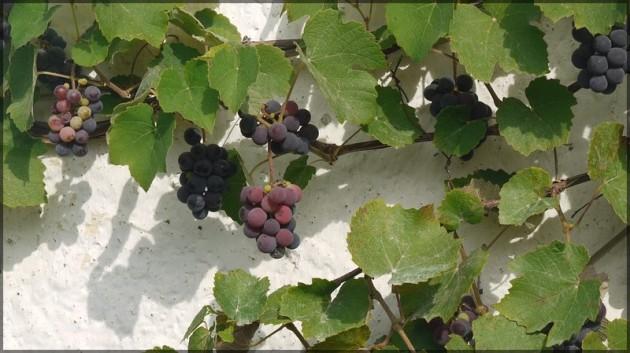Rote Weintrauben vor weißer Fassade, September 2011