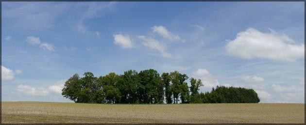 Maisfeld mit Baumgruppe am Horizont, Anfang Juni 2013