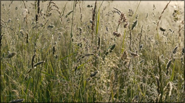 Gräser im Gegenlicht, Juni 2013