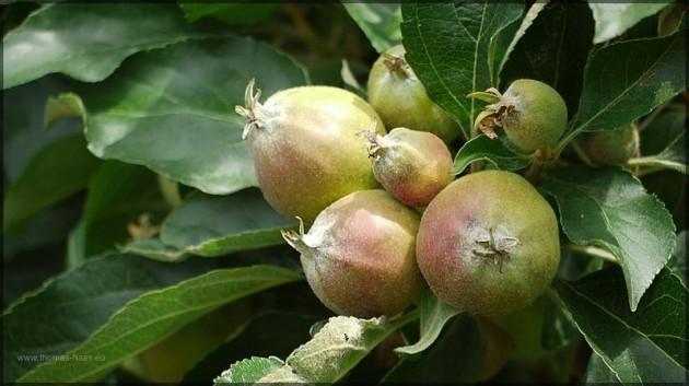 Obstplantage,Apfelbaum, am Kaiserstuhl, Juni 2013