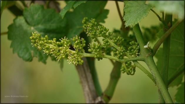 Ansatz der Weintrauben, Juni 2013