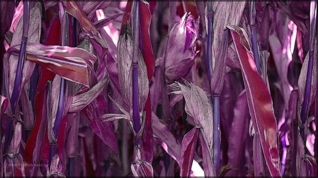 Maisfeld, farblich verfälscht, Bildbearbeitung in GIMP