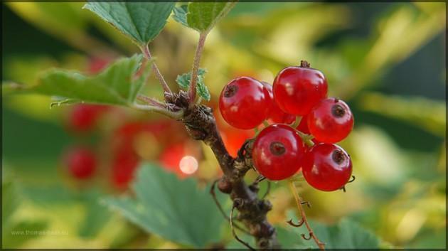 Rote Johannisbeeren warten auf die Ernte...