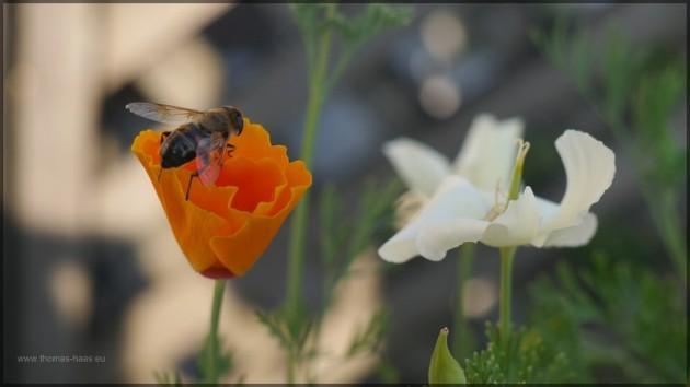 Bien auf Blüte, Sommer - Juli 2013