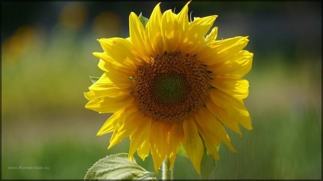 Sonnenblume im Sommer 2013