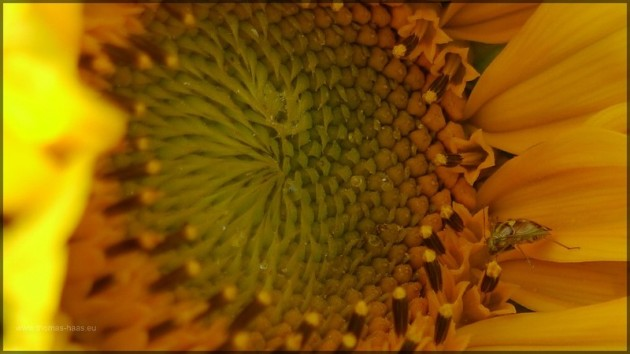 Sonnenblume (Ausschnitt) mit Käfer, Juli 2013