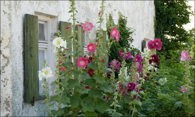 Stockrosen (Malven) im Bauerngarten, Juli 2013