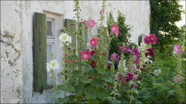 Stockrosen vor Bauerhaus, Juli 2013