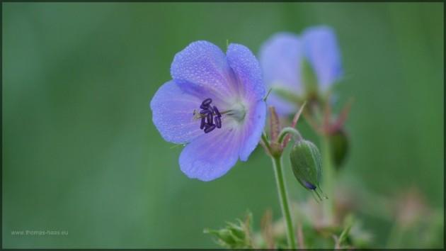 Blüte des Storchenschnabels, Juli 2013