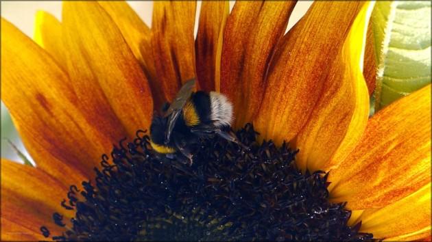 Hummel auf Sonnenblume, August 2013