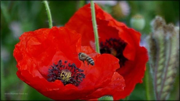 Biene und Mohnbluete, Juli 2013