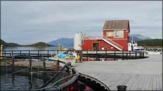 Lachszuch im Fjord