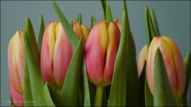 Tulpen in der Vase, März 2014, Thomas Haas