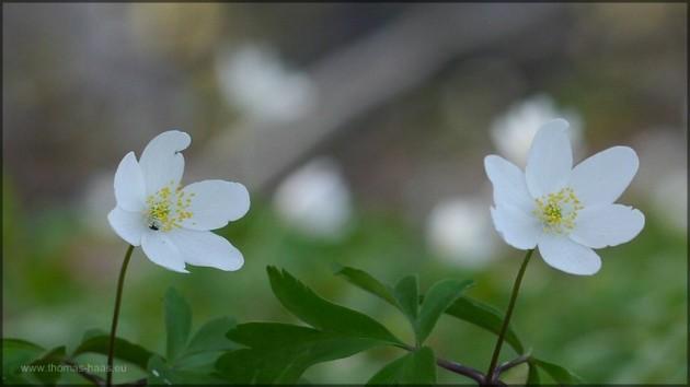 Buschwindröschen, Zeichen des Frühlings, März 2014
