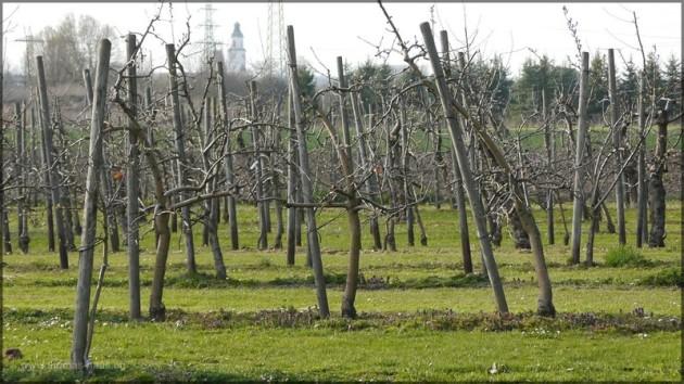 Apfelplantage im März 2014